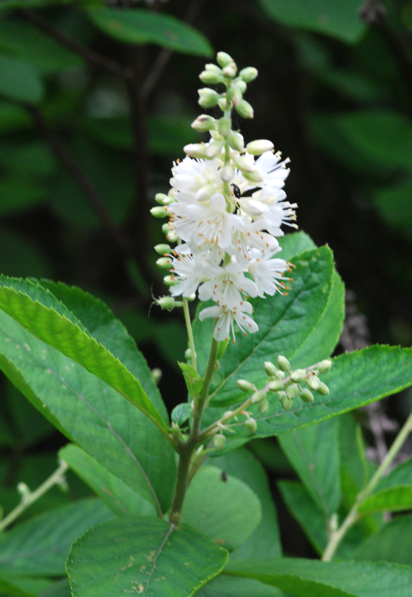 Pepperbush
